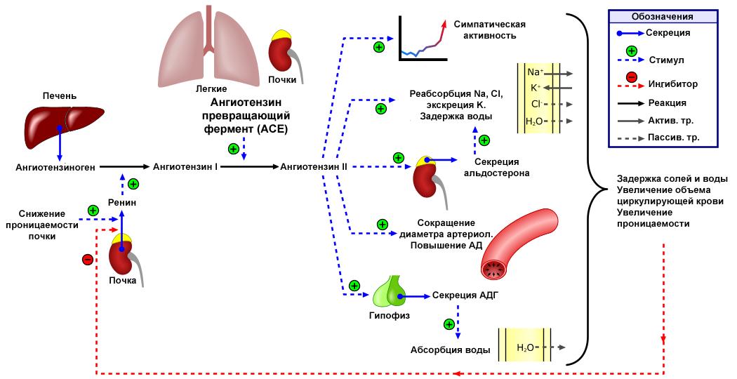hipertenzijos 1 pakopos 2 laipsnio 2 rizikos grupė