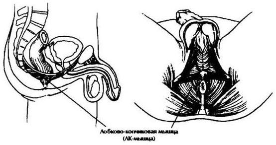 kaip statyti raumenis ant varpos)